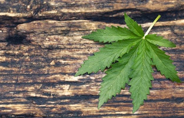 Folhas e sementes verdes de cannabis medicinal