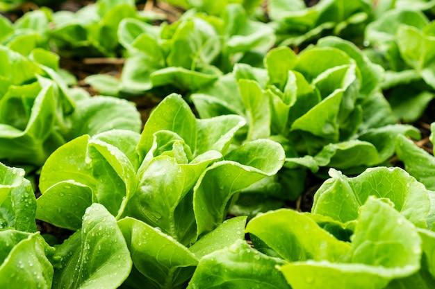 Folhas frescas da alface, fim acima. planta de salada de alface butterhead, folhas de vegetais hidropônicos. alimentos orgânicos, agricultura e conceito hidropônico.