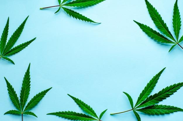 Folhas frescas de cânhamo em um fundo azul