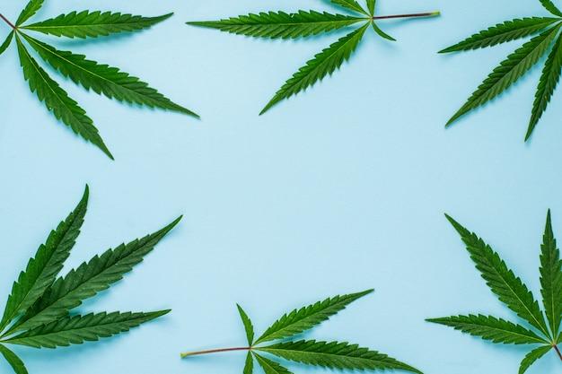 Folhas frescas de cânhamo sob a forma de um quadro sobre um fundo azul