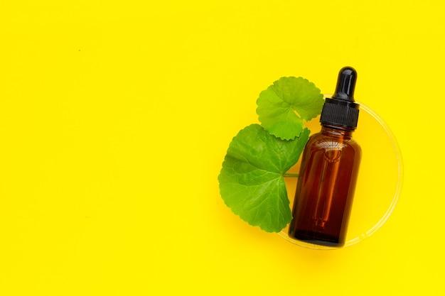 Folhas frescas de gotu kola em placa de petri com frasco de óleo essentail em fundo amarelo.