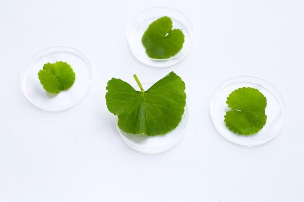 Folhas frescas de gotu kola em placas de petri em fundo branco.
