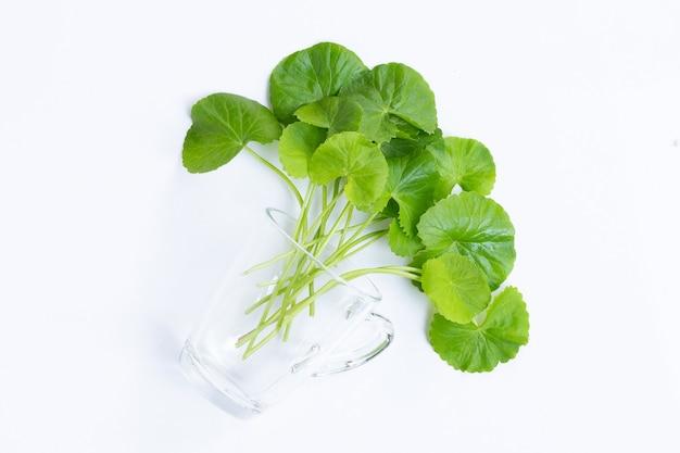 Folhas frescas de gotu kola em vidro sobre fundo branco, ervas e plantas medicinais.