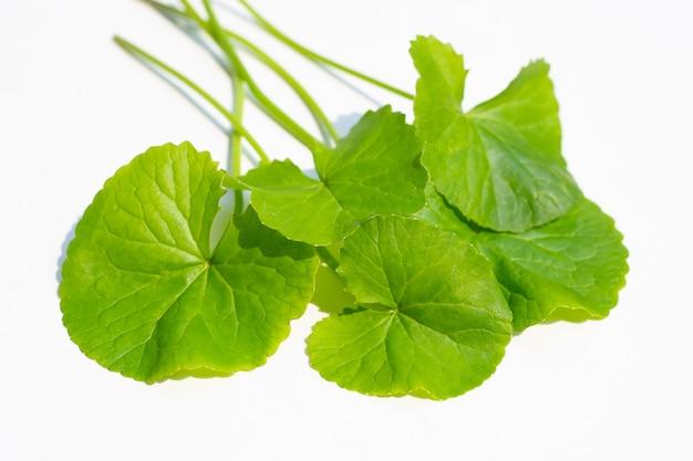 Folhas frescas de gotu kola, ervas e plantas medicinais.
