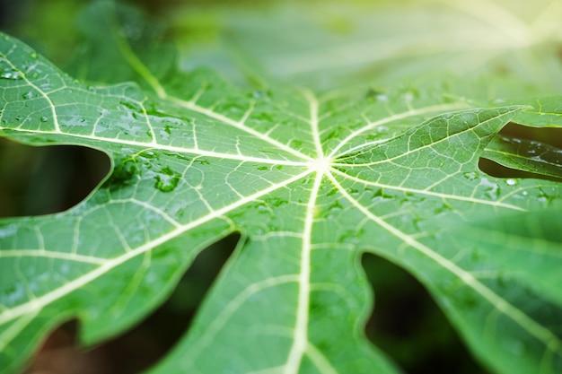 Folhas frescas de mamão e gotas de orvalho de água com a luz do sol no jardim
