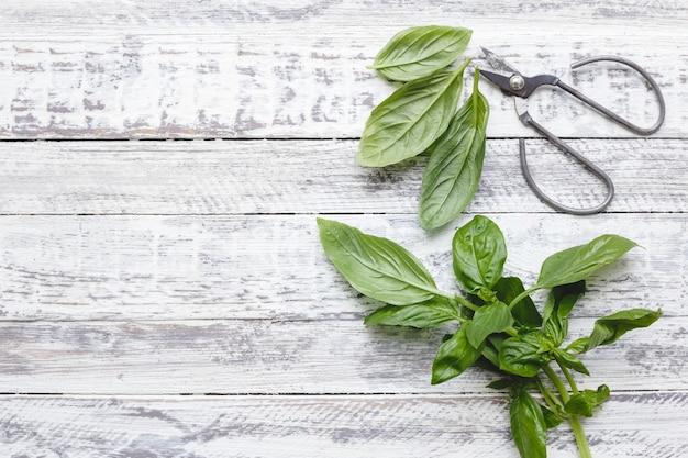 Folhas frescas de manjericão com uma tesoura no fundo branco de madeira com espaço de cópia.