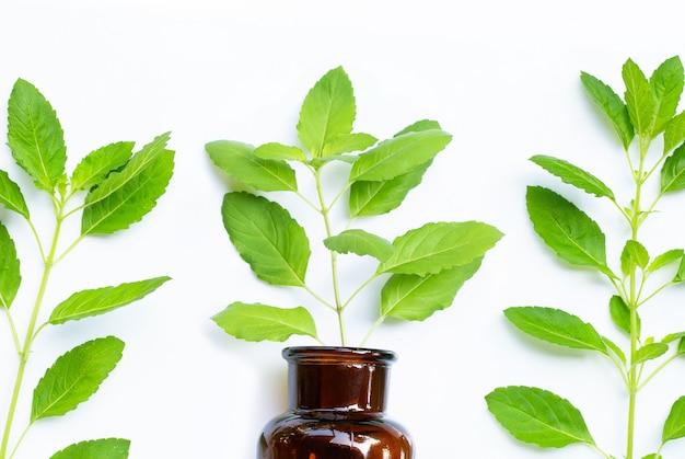 Folhas frescas de manjericão sagrado com frasco de óleo essencial em fundo branco