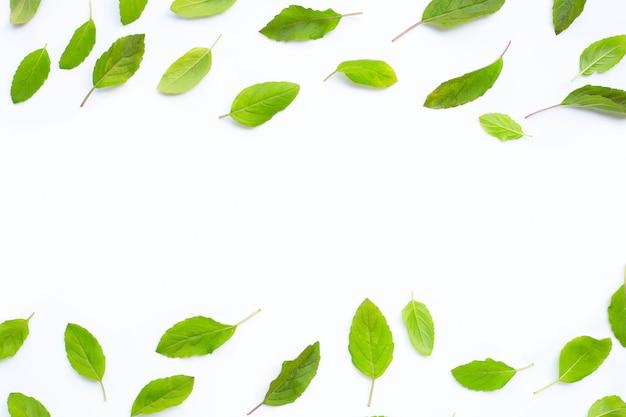 Folhas frescas de manjericão sagrado em branco.