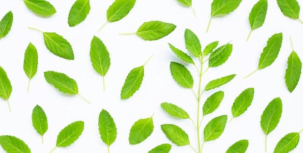Folhas frescas de manjericão sagrado em fundo branco. vista do topo
