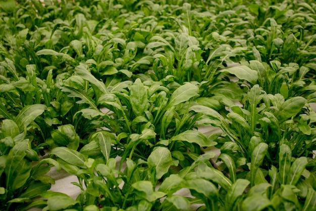Folhas frescas de rúcula, close-up. salada de alface, folhas de vegetais hidropônicas