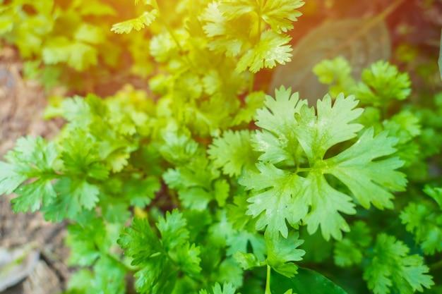 Folhas frescas do verde ascendente próximo do jardim de erva da planta do coentro em casa.
