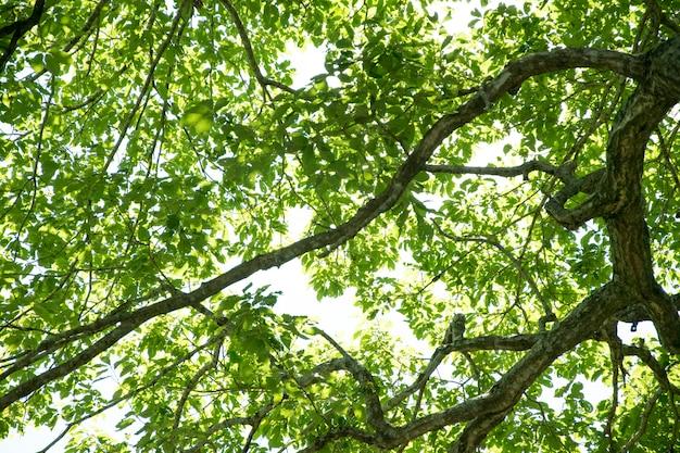Folhas frescas do verde que incandescem na floresta verde.