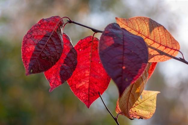 Folhas grandes vermelhas e amarelas brilham ao sol. foco superficial seletivo nas folhas, o fundo é desfocado.