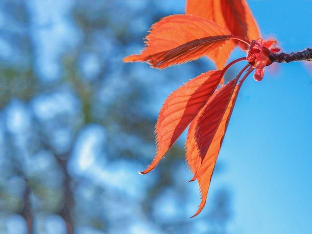 Folhas jovens de bordo vermelho contra o céu azul no início da primavera. os botões florescendo nas árvores da primavera.