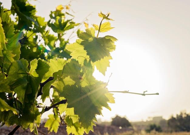 Folhas jovens de uvas no fundo do céu