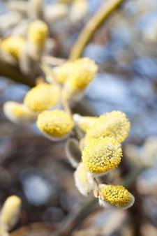 Folhas jovens. primavera. ramos de salgueiro com amentilhos brancos