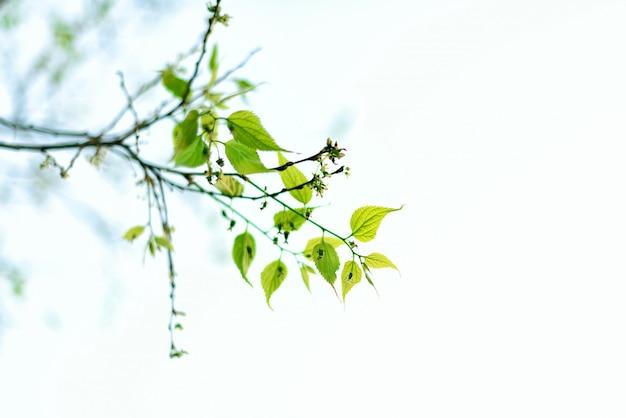 Folhas jovens verdes. dia de sol e fundo de natureza de primavera. conceito de páscoa. copie o espaço.