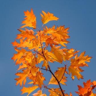 Folhas laranjas de carvalho vermelho contra o céu azul