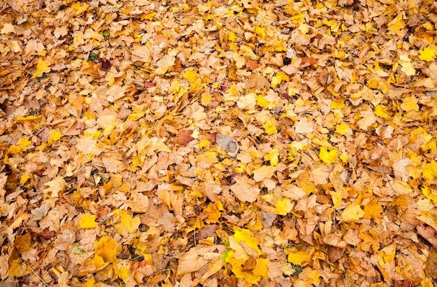 Folhas maçantes de bordo caindo no chão após a queda das folhas, tempo nublado na natureza