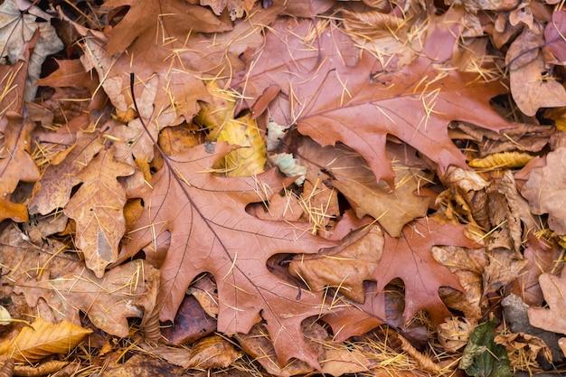 Folhas marrons de carvalho no chão no outono, fundo, textura para design_ Foto Premium