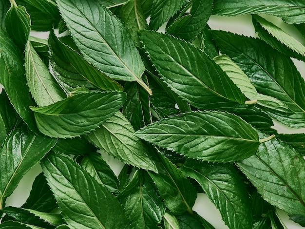 Folhas orgânicas verdes frescas de hortelã.