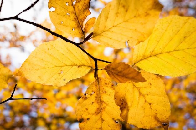 Folhas outonais coloridas da árvore de faia.