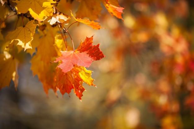 Folhas outonais, folhagem de bordo vermelho e amarelo contra floresta