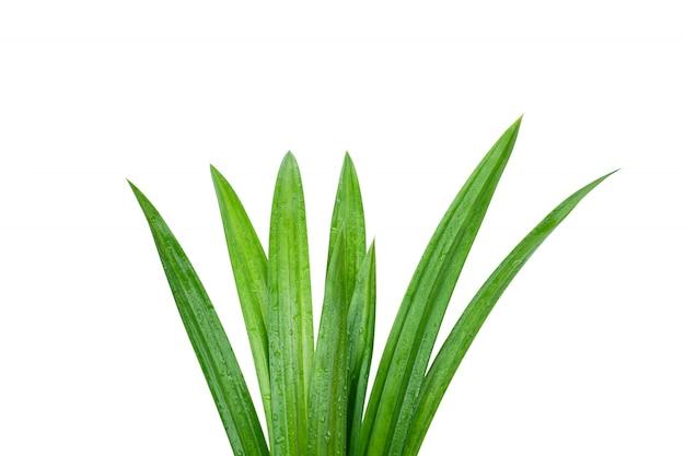 Folhas pandan verdes frescas com as gotas de água isoladas