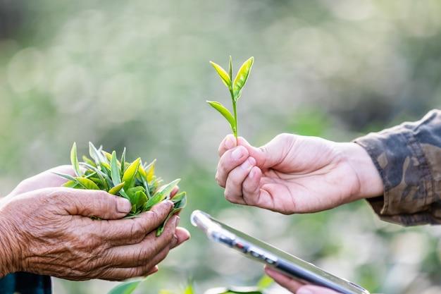 Folhas pequenas chá verde em mãos dadas para verificar ir para a fábrica