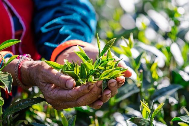 Folhas pequenas chá verde em mãos dadas