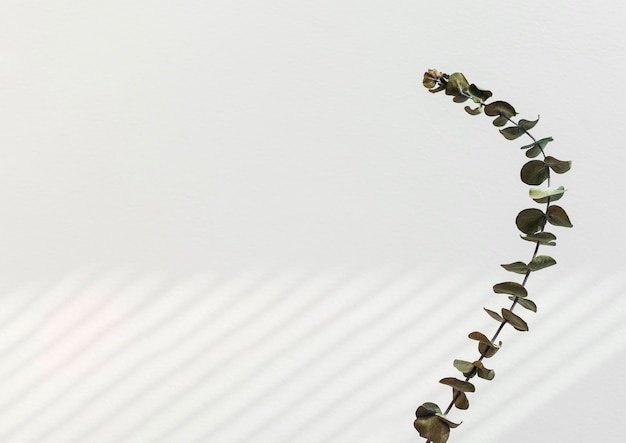 Folhas redondas de eucalipto por uma parede branca