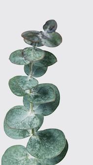 Folhas redondas de eucalipto