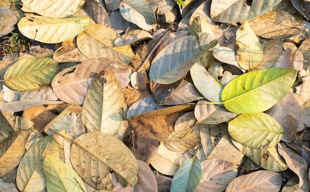 Folhas secas caindo das árvores. a árvore de licença caindo no outono no verão.