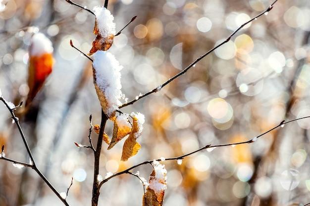 Folhas secas cobertas de neve em um galho em tempo ensolarado