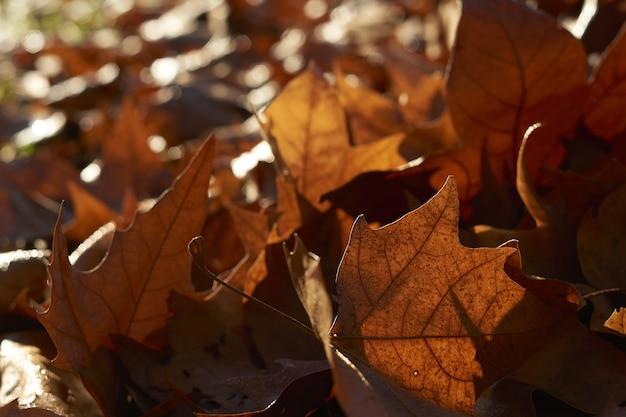 Folhas secas de bordo caídas, closeup