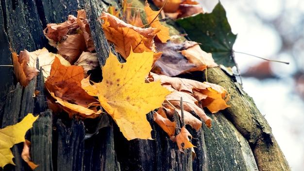 Folhas secas de bordo caídas em um velho tronco de árvore rachado