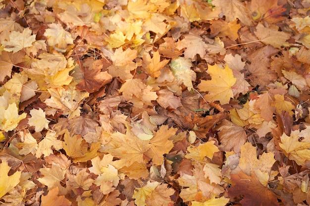 Folhas secas de bordo de outono fundo mentiras no chão tema abstrato sazonal