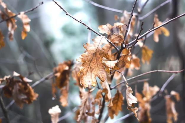 Folhas secas de carvalho marrom na temporada de outono na floresta
