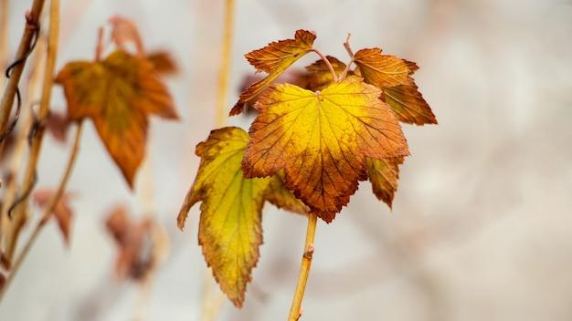 Folhas secas de groselha de outono no jardim em um fundo claro