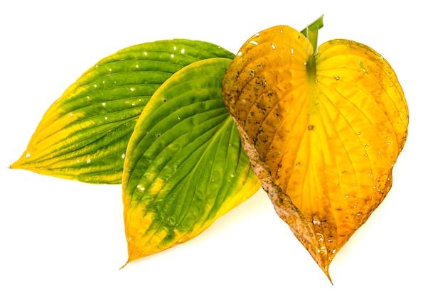 Folhas secas de hosta amarelas.