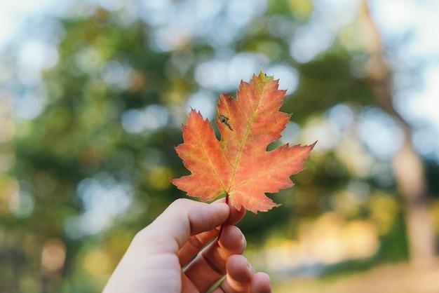 Folhas secas de laranja caídas de outono de uma árvore de bordo na mão de uma mulher contra o fundo desfocado