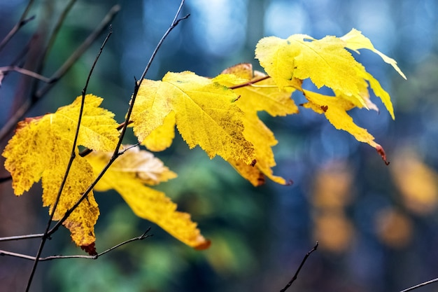 Folhas secas de outono amarelas na floresta em um fundo desfocado