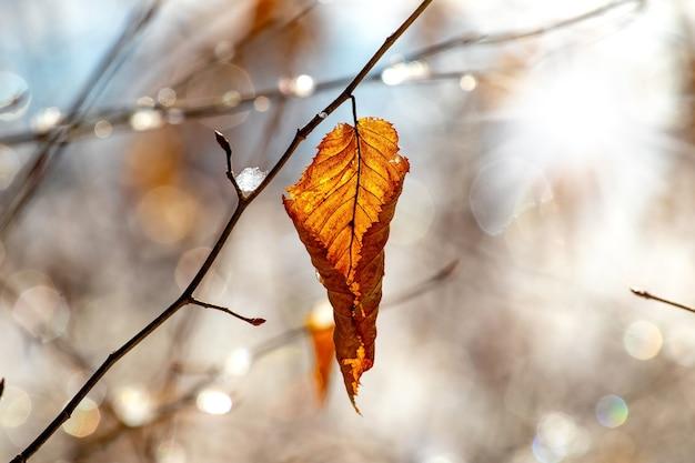 Folhas secas na floresta em uma árvore em um clima ensolarado de inverno