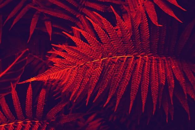 Folhas tropicais coloridas na cor vermelha. folhas vermelhas e azuis naturais do fundo da samambaia decorativa nos trópicos. fundo escuro de samambaias