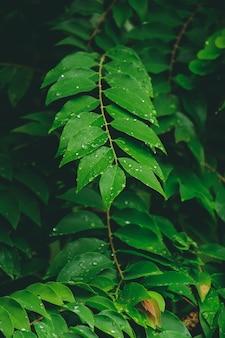 Folhas tropicais, gotas de chuva nas folhas