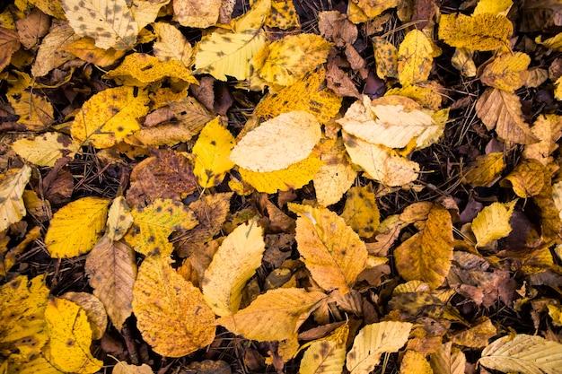 Folhas velhas caídas de árvores que começaram a apodrecer em meados do outono, close-up desta natureza natural