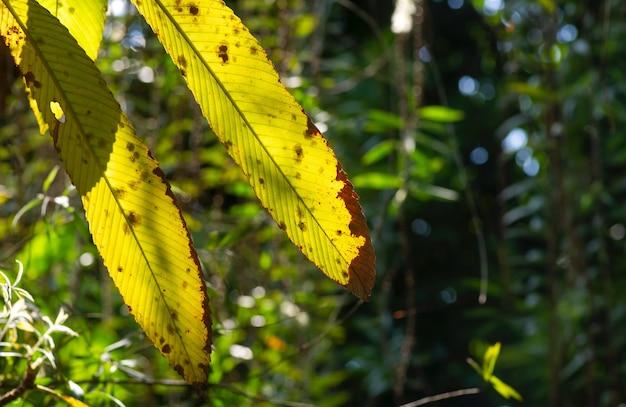 Folhas velhas de dillenia indica, foco selecionado, comumente conhecidas como maçã-elefante