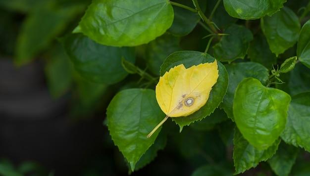 Folhas velhas de hibisco na filial mudadas para amarelo