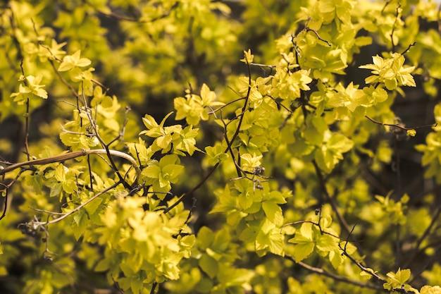 Folhas verde-amarelas vívidas do arbusto do jardim. fundo natural. primavera e verão