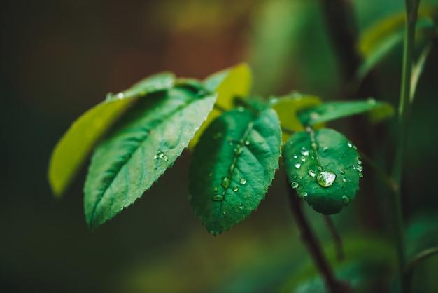 Folhas verde-escuras com gotas de orvalho. vegetação rica com pingos de chuva. plantas verdes em tempo chuvoso.